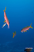 yellowfin goatfish, Mulloidichthys vanicolensis, being cleaned by bluestreak cleaner wrasse, Labroides dimidiatus, at Ice Cream bommie, Saipan, Commonwealth of Northern Mariana Islands, Micronesia ( Western Pacific Ocean )