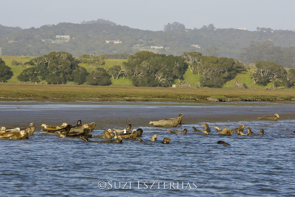 Harbor Seal<br /> Phoca vitulina<br /> Haul out in estuary<br /> Elkhorn Slough, CA