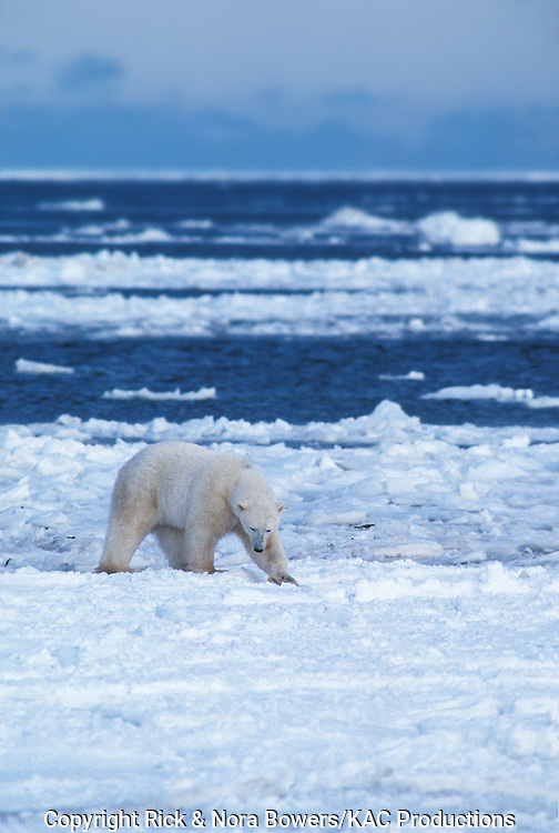 Polar Bear <br /> Urus maritimus<br /> Churchill, Manitoba, CANADA<br /> November      Adult males sparring       Ursidea