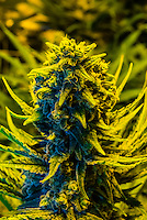 Island sweet skunk strain (sativa), Marijuana flowering Grow room, Sticky Buds, Denver, Colorado USA.