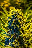 Island sweet skunk strain (sativa), Marijuana flowering Grow room, Sticky Buds, Denver, Colorado USA.