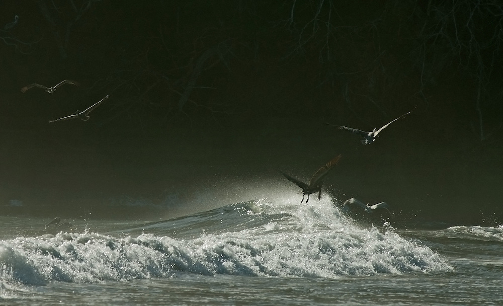 Brown pelicans fishing in surf at dawn. Brown pelicans, Pelecanus occidentalis, back lit by low sun as they fish in the surf just after dawn.
