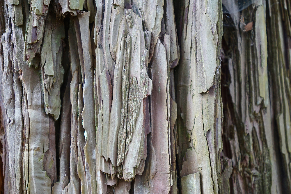 Redwood Bark, Finley Botanical Gardens, Berkeley, California