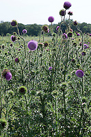 Invasive Nodding Thistle (Carduus nutanns), Mason County, Texas