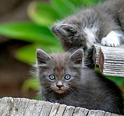 Seven weeks old kitten playing in the yard, posing for photo, Kitten portrait, Blue Eyes, Cute alert, Beautiful kitty