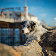 Images of Django, the Blue Merle Collie, on Brighton beach