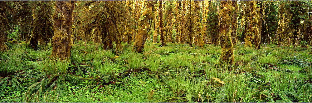 Fiji 6x17 film pano, Quinalt Rain Forest<br /> <br /> 20&quot;x60&quot;on Aluminum Dibond with Acrylic Glass.Includes integrated wall-mount.$1,080 + shipping