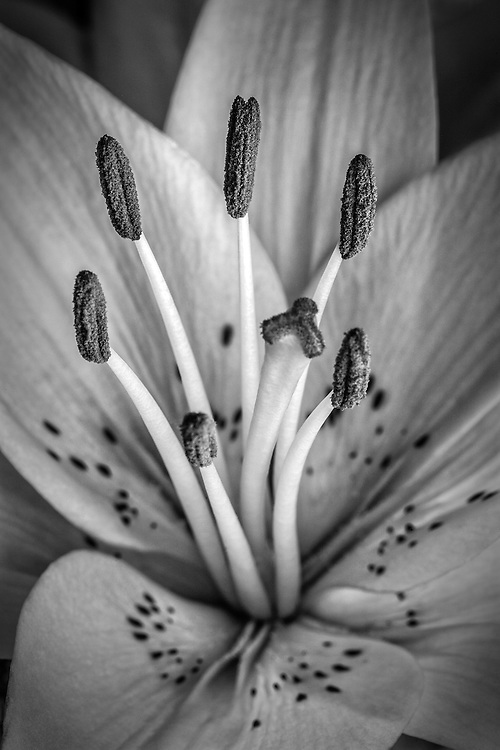 Black and white image of a daffodil close up.