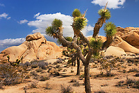 Jumbo Rocks and Joshua Tree (Yucca brevifolia), Joshua Tree National Park California