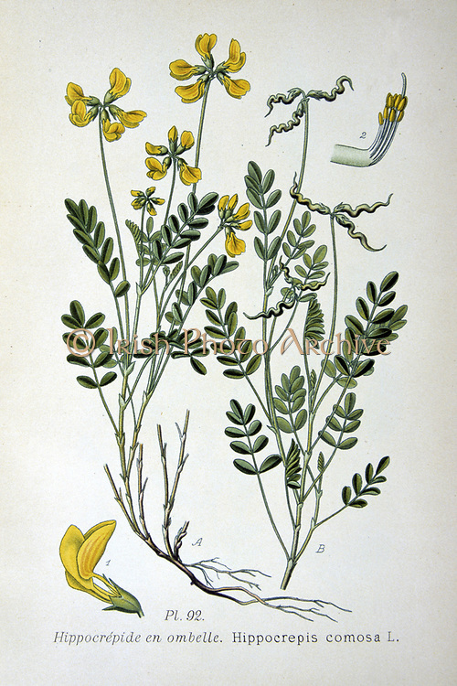 Horseshoe Vetch (Hippicrepis comosa) common plant of chalk and limestone turf.  Food plant of the Chalkhill Blue butterfly (Polyommatus coridon). From Amedee Masclef 'Atlas des Plantes de France', Paris, 1893.