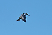 Belted Kingfisher (Megaceryle alcyon) hovering over a pond searching for fish, Broad Cove, Nova Scotia, Canada