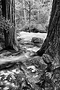 River runs threw two redwood trees, Merced River, Yosemite