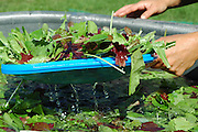Farm Girl Farm CSA, sustainable community supported agriculture. Laura Meister washes fresh baby salad greens.