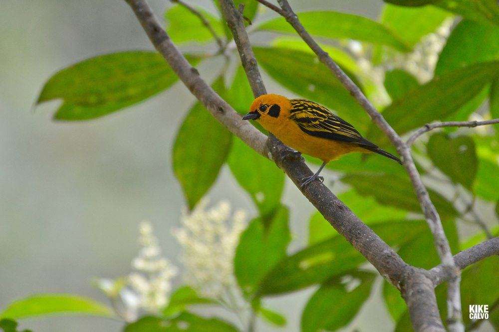 Golden Tanager ( Tangara arthus ) , humid montane forests, Western Andes