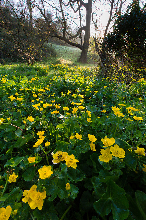 Marsh marigold / King cup (Caltha palustris) flowering by a marshy stream on the Limestone Link trail, St.Catherine Valley, South Gloucestershire, UK.