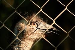 AUSTRALIA QUEENSLAND BILLABONG 23FEB08 - An Emu at the Billabong Sanctuary...jre/Photo by Jiri Rezac..© Jiri Rezac 2008..Contact: +44 (0) 7050 110 417.Mobile:  +44 (0) 7801 337 683.Office:  +44 (0) 20 8968 9635..Email:   jiri@jirirezac.com..Web:    www.jirirezac.com..© All images Jiri Rezac 2008 - All rights reserved.