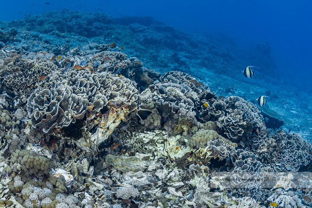 Yellow scroll coral-corail Chou (Turbinaria reniformis)