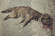 A Dead dog