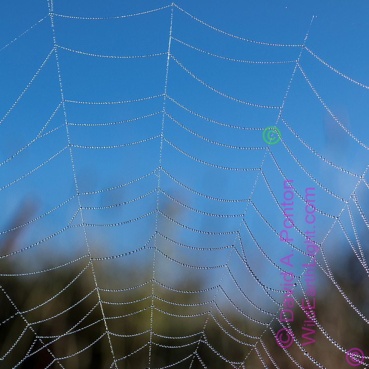 Dew decorates an orb web in the Valle Grande, revealing the surprising uniformity  created by the spider, © 2017 David A. Ponton [Prints to any square size]
