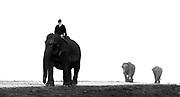 The mahoot leads domesticated Indianelephants in Kaziranga National Park, Assam, north-east India.