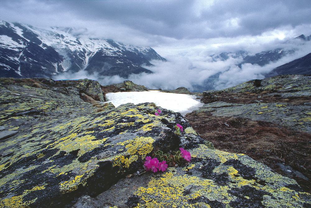 Primula rubra nestle among the rocks above Saas Fee in the Valaisian Alps, Switzerland.