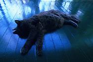 """USA, Vereinigte Staaten Von Amerika: Hauskatze (Felis catus domesticus), Felidae, ?Betty Joe? schläft auf der Holzveranda, Hemingway Haus und Museum, Key West, Florida   USA, United States Of America: Domestic cat (Felis catus domesticus), Felidae, """"Betty Joe"""" sleeping on the wooden porch, Hemingway Home and Museum, Key West, Florida  """