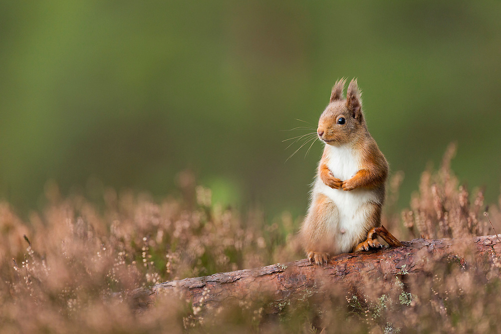 Red Squirrel (Sciurus vulgaris) sitting upright on fallen pine trunk amongst Common Heather (Calluna vulgaris), Cairngorms, Scotland, January, 2013.