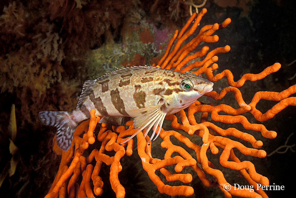 redfingers, Cheilodactylus fasciatus, endemic to Namibia & South Africa, False Bay, Cape of Good Hope, South Africa