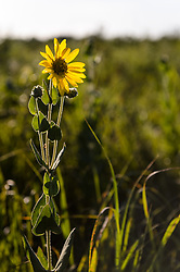 Ashy sunflower (Helianthus mollis) grows along the 1.5-mile Gayfeather Trail in the Regal Prairie Natural Area located in Prairie State Park. The park, located near Liberal, Mo. is Missouri&rsquo;s largest remaining tallgrass prairie. The park&rsquo;s nearly 4,000 acres is home to bison and elk. Panoramic hillsides of wildflowers such as prairie blazing star, sunflowers, and Indian paintbrush provide a canvas of color. In the fall, prairie grass such as big bluestem and Indian grass may tower as high as 8 feet tall. <br /> <br /> Tallgrass prairie once covered more than 13 million acres of Missouri&rsquo;s landscape. Today, less than one percent remains. The prairie at Prairie State Park remains because the rocky land was too difficult to plow, which protected it from being farmed. Hiking, animal viewing, camping, birdwatching, and photography are some of the activities that the park affords. <br /> <br /> The Regal Prairie Natural Area is a 240-acre state natural area within the park that is especially noted for its wildflower display. The Nature Conservancy and the Missouri Prairie Foundation provided funding for the purchase of much of the park&rsquo;s acreage. The area was dedicated as a state park in 1982.