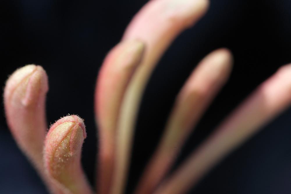 Honeysuckle, Lonicera periclymeum Burren Ireland