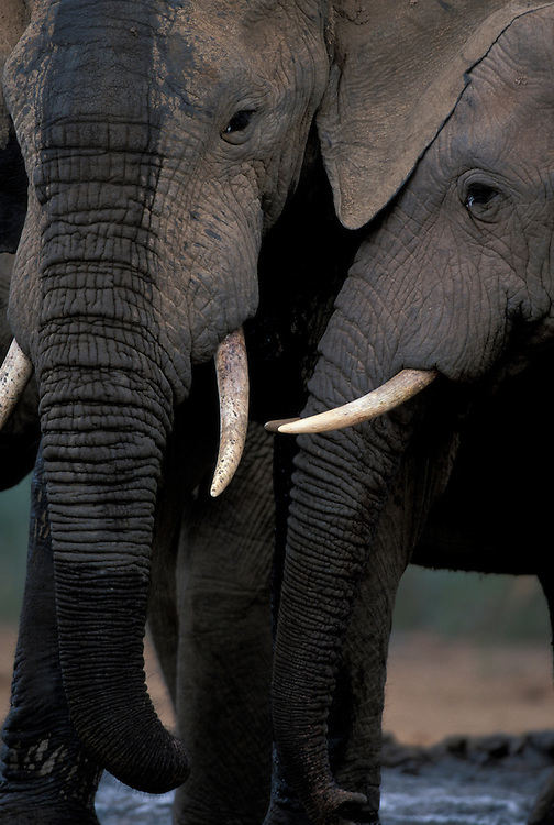 South Africa, Addo Elephant National Park, Bull Elephants (Loxodonta africana) by water hole