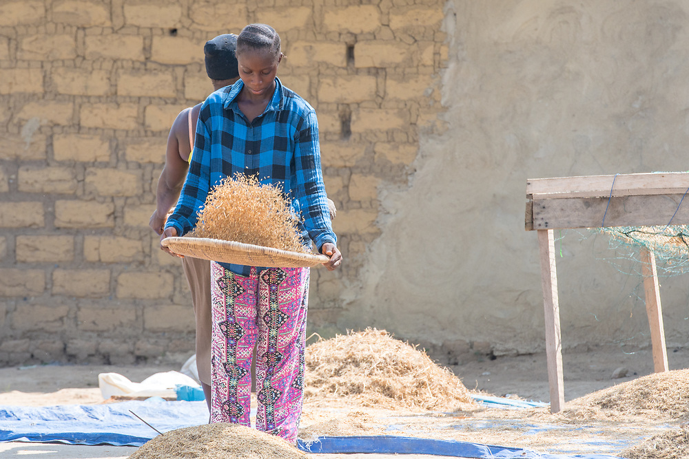 Woman shaking up dried African rice plant, Gbedin village, Nimba County , Liberia