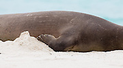Hawaiian Monk Seal sleeping on beach,  Midway Atoll (detail)
