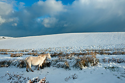 © Licensed to London News Pictures. 17/01/2015. A cream coloured pony forages for food on the Mynydd Epynt moorland above the small market town of Builth Wells. There was overnight snowfall on high land in Mid Wales. Mynydd Epynt, Powys , Wales, UK. Photo credit: Graham M. Lawrence/LNP