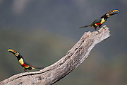 Barra do Bugre_MT, Brasil.<br /> <br /> Tucano araçari-castanho (Pteroglossus castanotis) na APA (Area de Protecao Ambiental da Serra das Araras)<br /> <br /> The Chestnut-eared Aracari (Pteroglossus castanotis) in Serra das Araras Ecological Station.<br /> <br /> Foto: JOAO MARCOS ROSA / NITRO