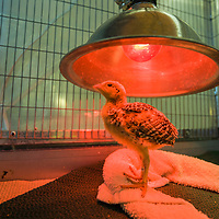 A few days old stays under a heat lamp at Fossil Rim Wildlife Research in Glen Rose, Texas. The facility breed a captive prairie chicken. Captive breeding may be the only hope for survival of the Attwater's prairie-chicken. However, not every egg hatches and not every chick survives to adulthood.  Captive breeding is an extremely labor-intensive process, as each bird requires much attention and care before being released into the wild.