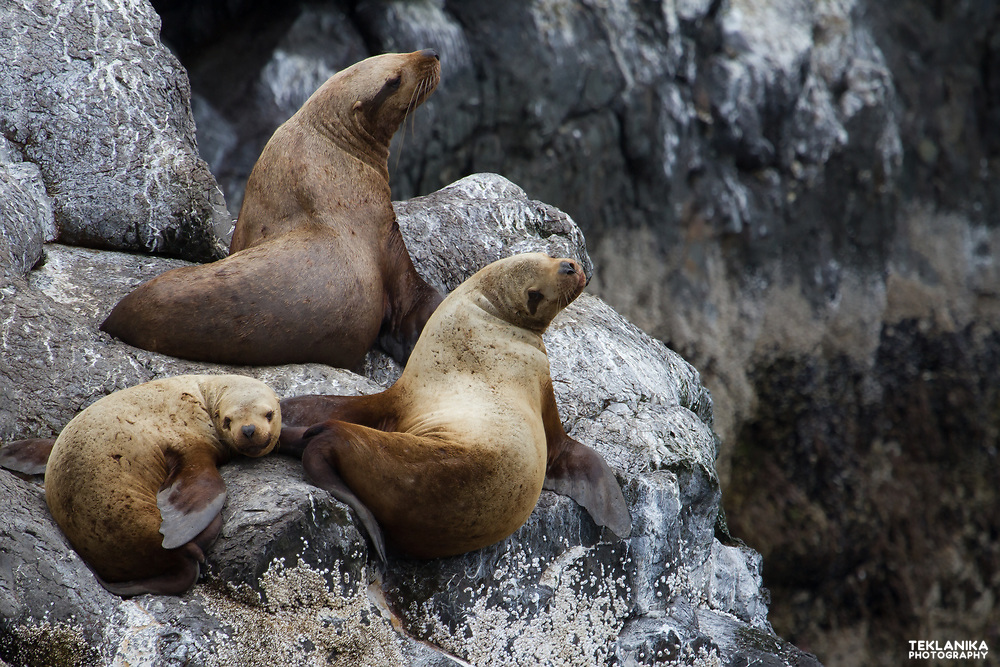 Three Steller sea lions haul out on rocks.