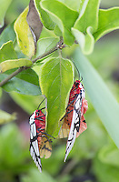 Two Arctiidae tiger moths mating, Malaysia