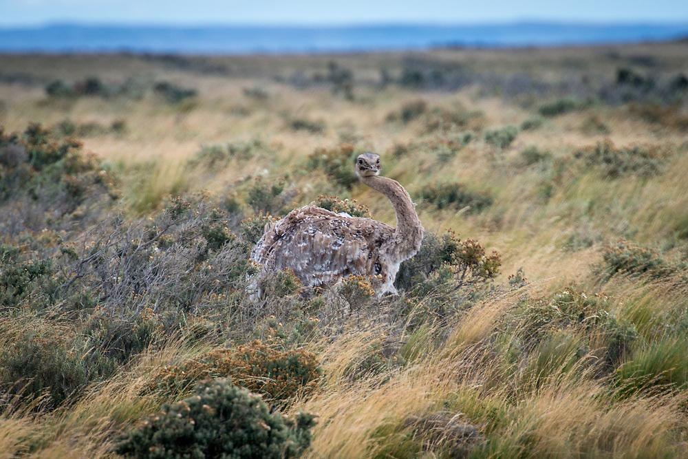 Lesser Rhea Rhea pennata, Chile