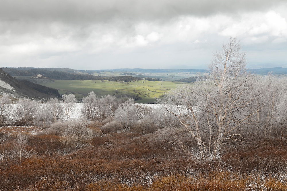 Birch tree (Betulaceae) with frost on the branches and  bushes in the front. In the back some hills with green grass