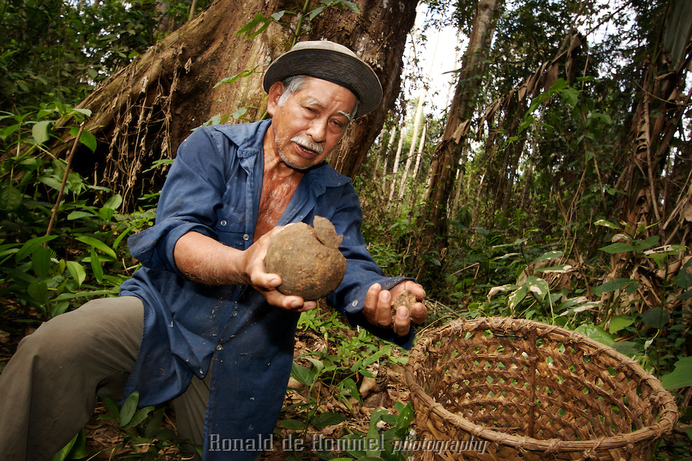 Cobija, Bolivia, 28-06-06. Leopoldo Vaca Chuquipera shows a handfull of Brazilnuts that he collects on his piece of jungle in the Bolivian Amazon. Brazil nuts, or Para nuts grow in coconutlike husks in the highest tree of he jungle, the impressive CastanAÃÉEÃÅa tree. The nuts fall down and are then collected by the locals. The CastanAÃÉEÃÅa tree can only survive with the surrounding jungle intact. That's why the exploitation of this nut is a sustainable way to preserve the forest and make it profitable for it's inhabitants...