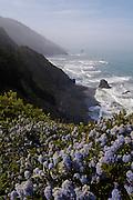 lilac (Ceanothus sp.) hugs the coastal cliffs of Redwood National Park, spring, California