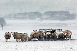 © Licensed to London News Pictures. 14/01/2016. Ribblehead UK. Picture shows Sheep in a snow covered field near the Newby Head Pass in the Yorkshire Dales Photo credit: Andrew McCaren/LNP