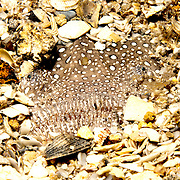 Southern Stargazer inhabit areas of sand, silt and rubble, often bury in soft substrate, known from Florida and contenital coasts, including coastal islands to South America; picture taken Blue Heron Bridge, Palm Beach, FL.