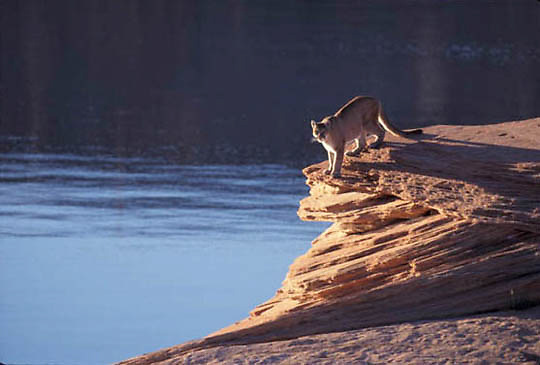 Mountain Lion or Cougar, (Felis concolor) Near lake in Monument Valley of northern Arizona.  Captive Animal.