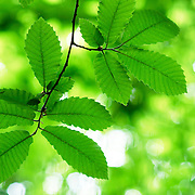Green leaves by sunlight