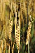 2 Row Barley closeup<br /> Webb<br /> Saskatchewan<br /> Canada