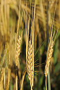 2 Row Barley closeup<br /> Webb<br /> Saskatchewan<br /> Canada