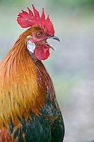 One of the many wild roosters at Ke'e Beach on the Na' pali Coast on Kauai, Hawaii.