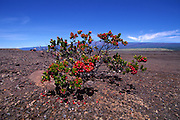 Ohia Tree, Island of Hawaii<br />